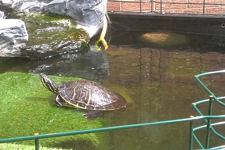 Turtles/terrapins swimming in tank